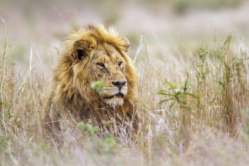 Afrikanskt lejon i den Kruger nationalparken, Sydafrika royaltyfria foton
