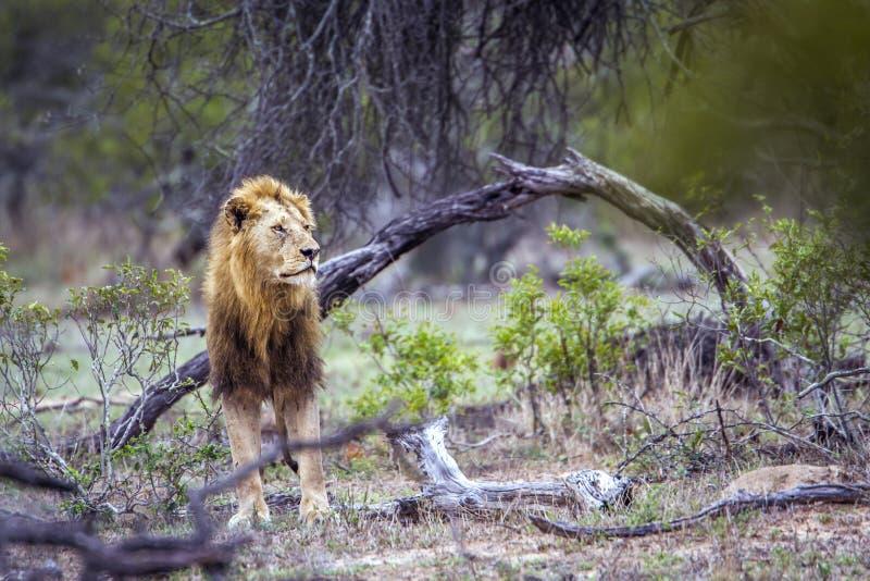 Afrikanskt lejon i den Kruger nationalparken, Sydafrika royaltyfri foto
