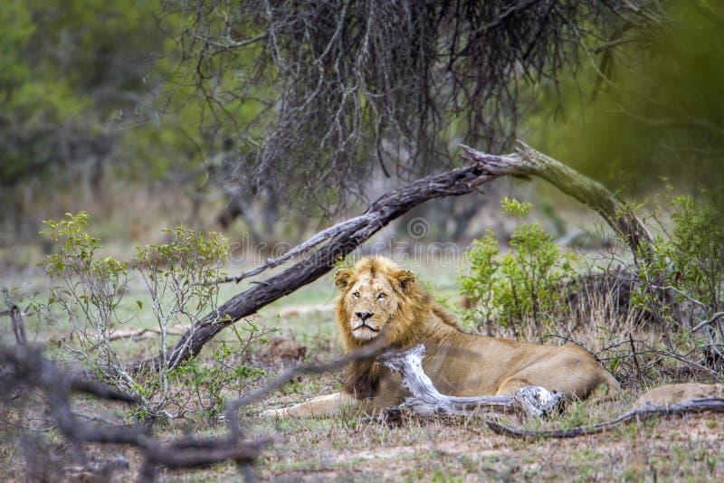 Afrikanskt lejon i den Kruger nationalparken, Sydafrika royaltyfri fotografi