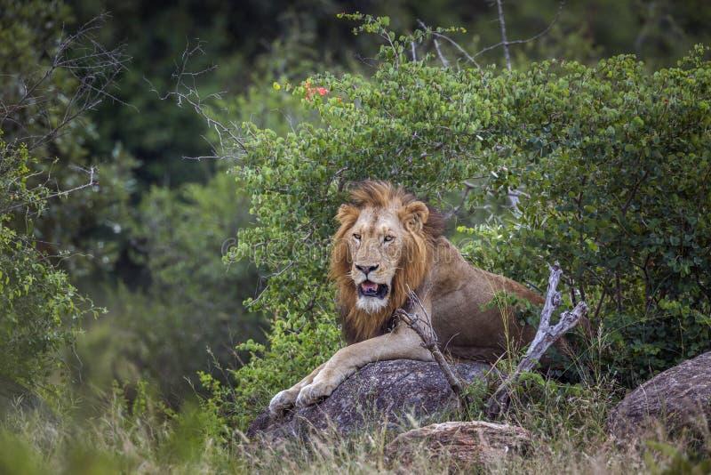 Afrikanskt lejon i den Kruger nationalparken, Sydafrika arkivbild