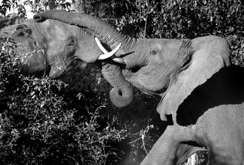 afrikanskt slåss för botswana elefanter arkivbilder