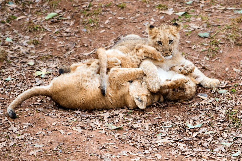Afrikanskt spela för lejongröngölingar arkivfoto