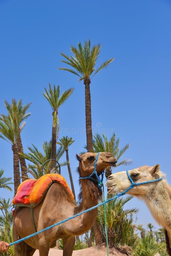 Afrique, Maroc, Marakech, chameaux, Tourisme fotos de archivo libres de regalías
