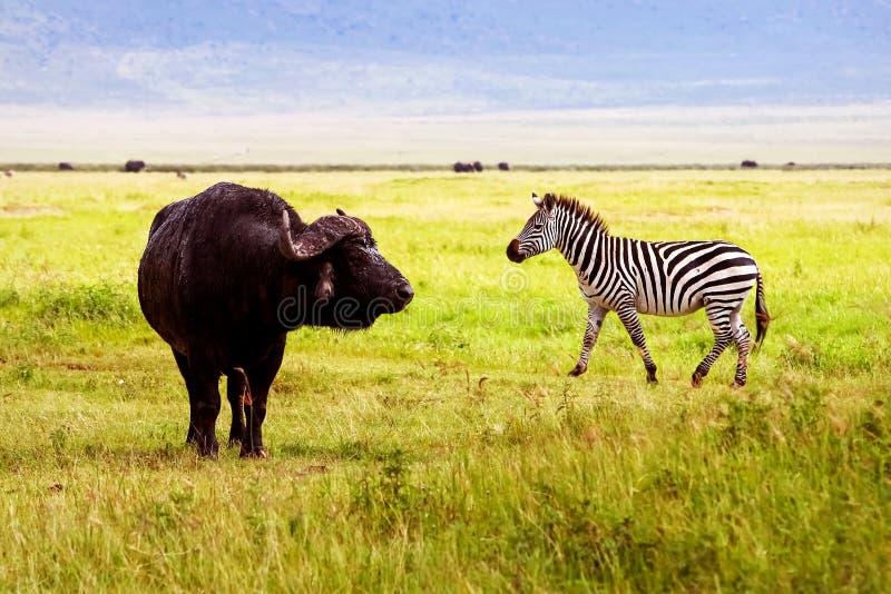 Afrivan sebra och buffel i den Ngorongoro kraternaturvårdsområdet _ tanzania arkivfoto