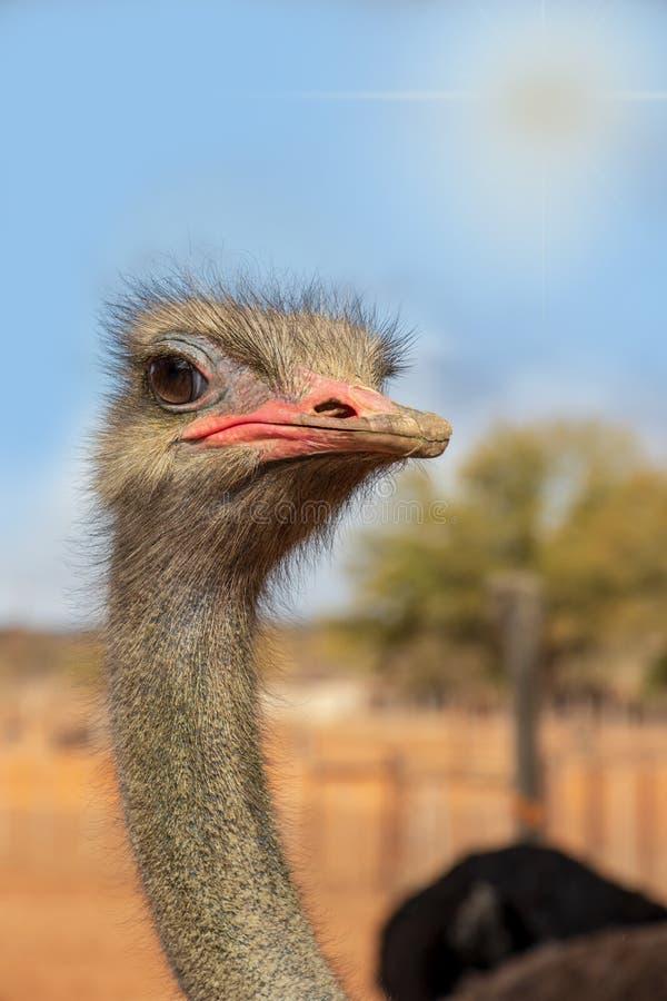 Afrricanstruisvogel die nieuwsgierig met blauwe hemel kijken royalty-vrije stock foto
