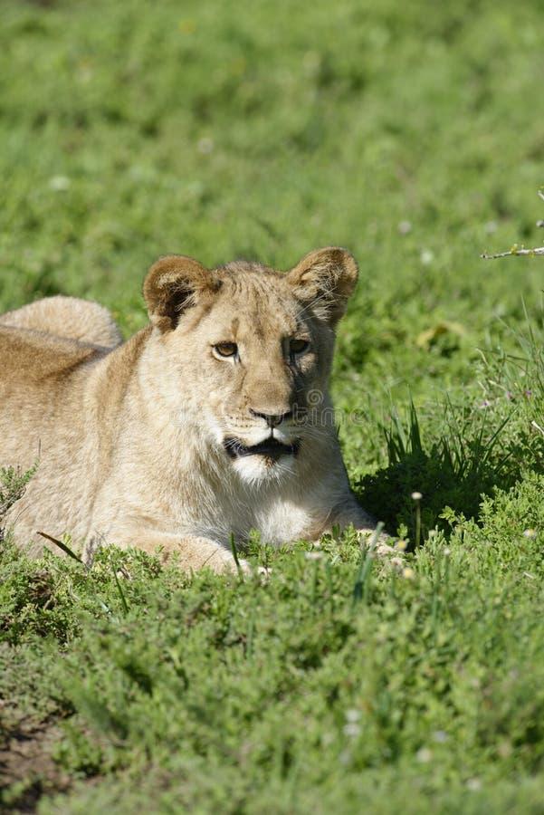 afryce młode lwa na południe obrazy royalty free