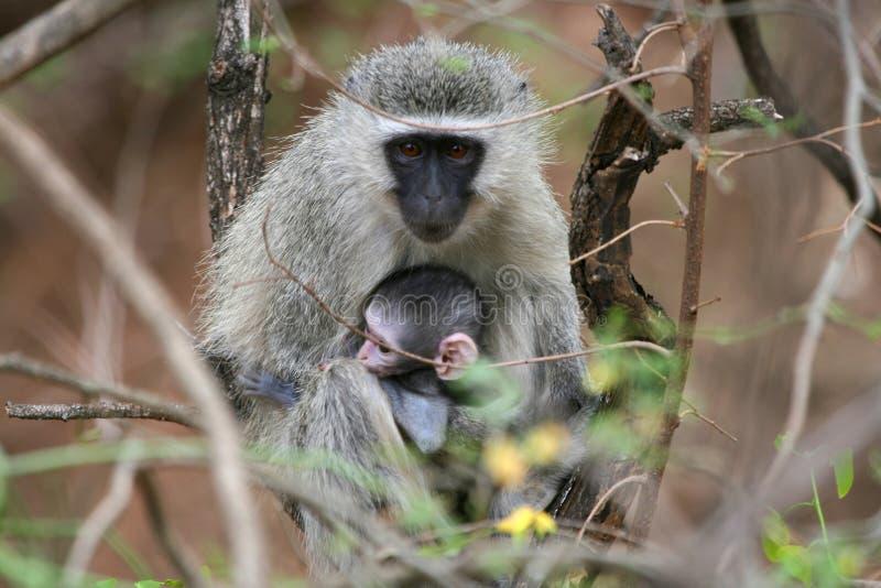 afryce małpy na południe zdjęcia stock