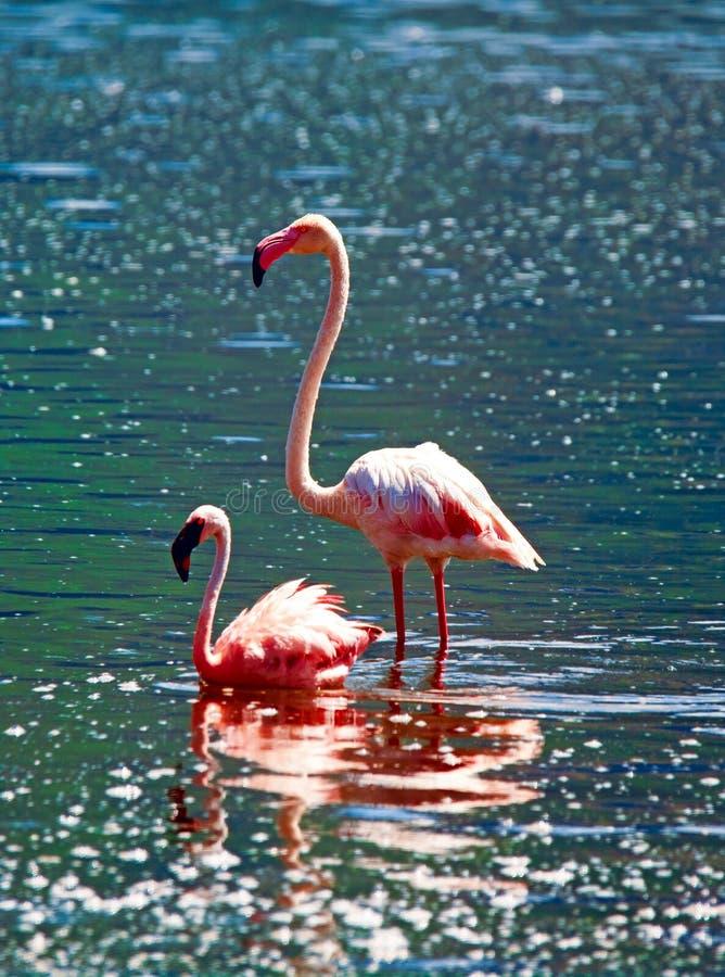 Afrykańscy flamingi zdjęcie royalty free