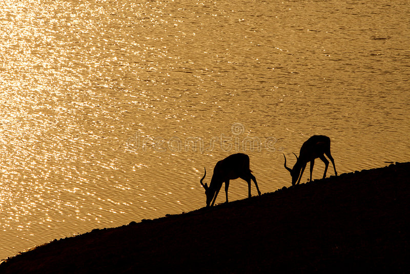 afrykańscy impalas zdjęcie royalty free