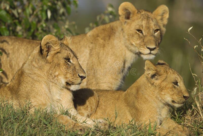 Afrykańscy lwów lisiątka obraz royalty free