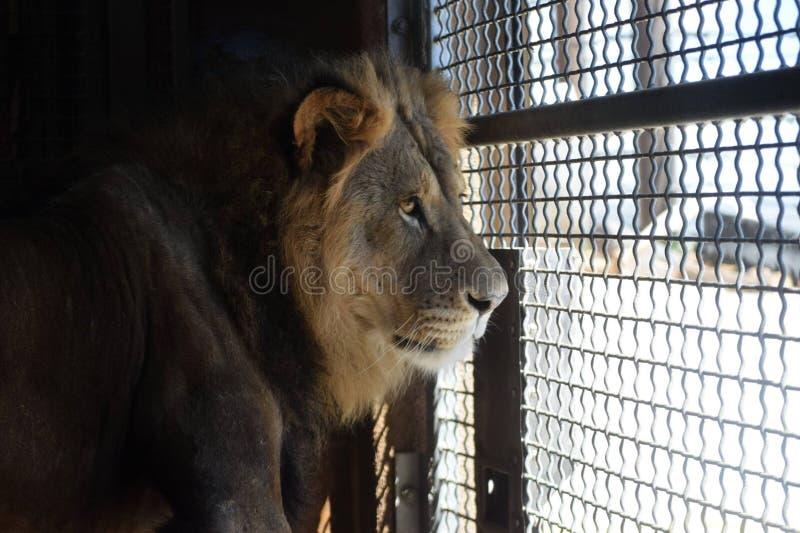 Afrykańscy lwów spojrzenia longingly od za niewoli obraz stock