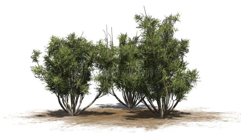 Afrykańscy oliwni krzaki - odizolowywający na białym tle ilustracji