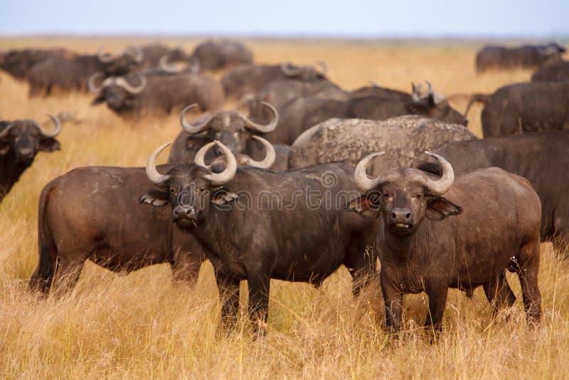 Afrykańscy przylądków bizony pasa w Afrykańskiej sawannie fotografia royalty free