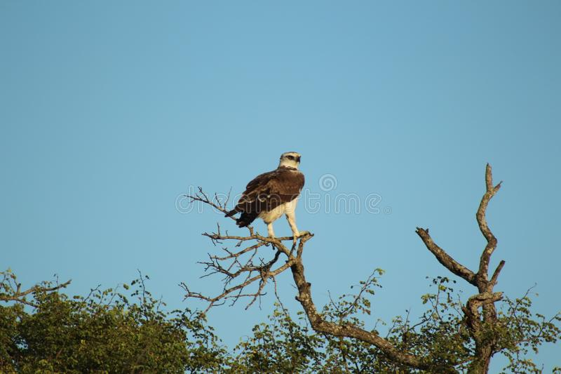 Afrykańscy ptaki afrykański jastrząb Eagle, Kruger park narodowy - - południe - zdjęcia royalty free