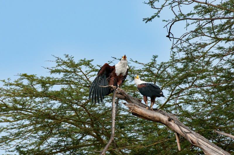 Afrykańscy rybi orły, Jeziorny Naivasha, Kenia zdjęcia stock