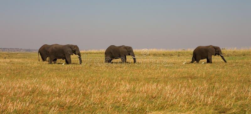 Afrykańscy słonie