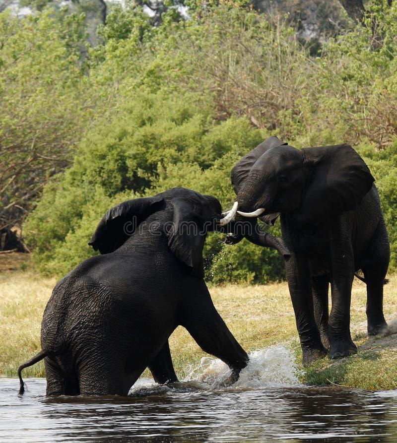 Afrykańscy słonie zdjęcia royalty free