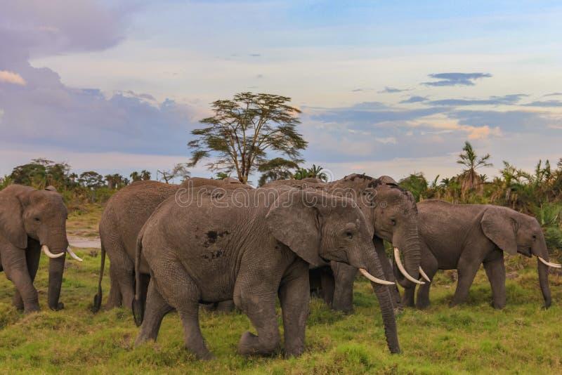 Afrykańscy słonie na masai Mara Kenya obraz royalty free
