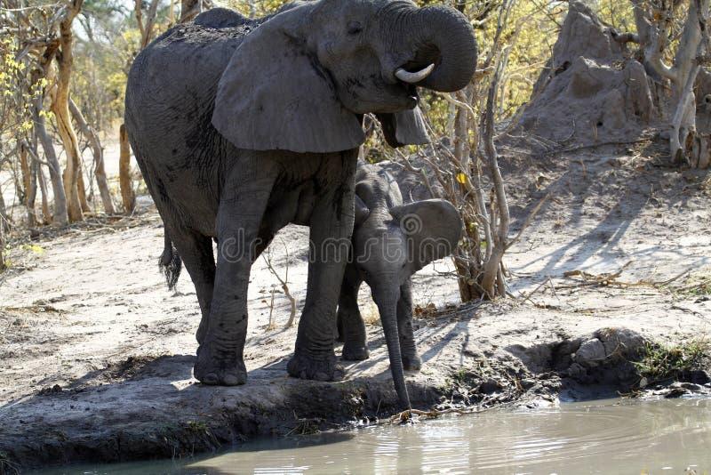 Afrykańscy słonie Pije na równinach obraz stock