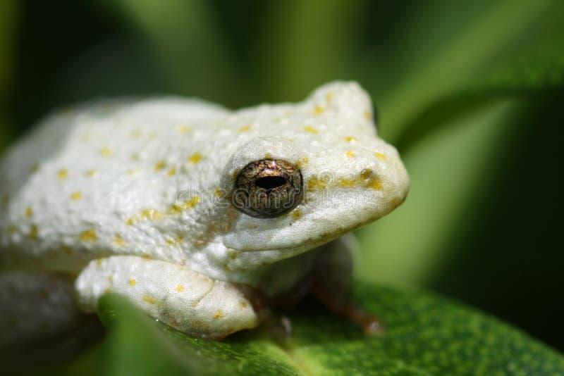 afrykańska żaba malujący trzcinowy południowy biel zdjęcie stock