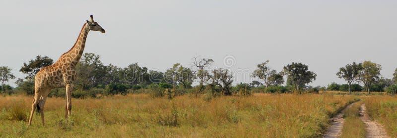 afrykańska żyrafa obrazy royalty free