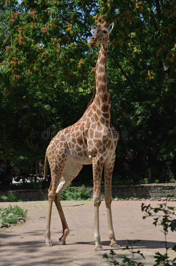 Afrykańska żyrafa w zoo Drezdeński Niemcy zdjęcie royalty free