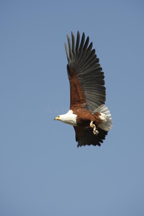 afrykańska Botswana orła ryba zdjęcia stock