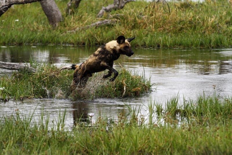 Afrykańska Dzikiego psa paczka w akci obrazy royalty free