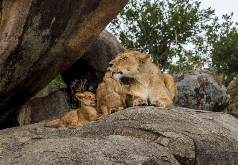 Afrykańska lwica na kopje z jej lisiątkami obrazy stock