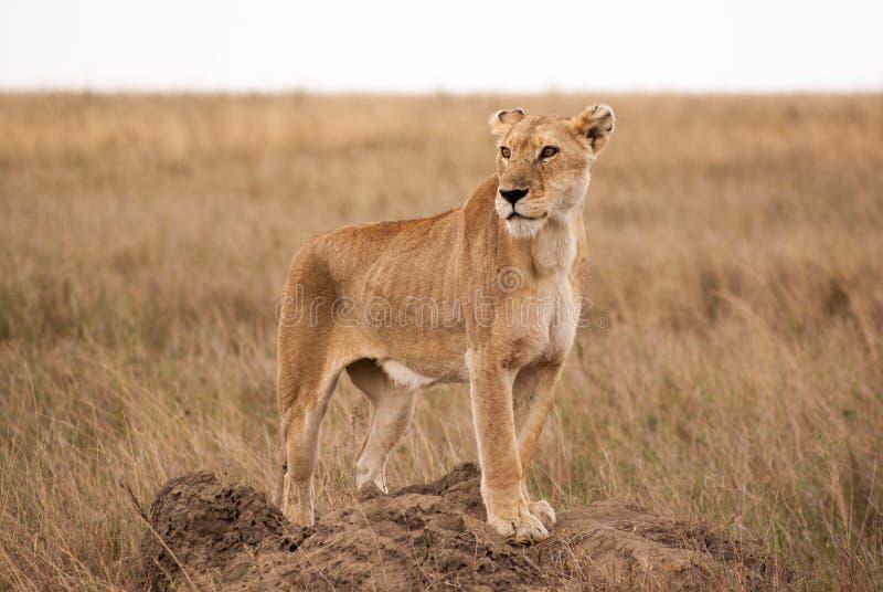 Afrykańska lwica na termitu wzgórzu w Serengeti parku narodowym obraz stock