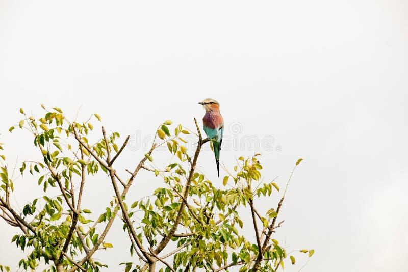 Afrykańska mała ptasia pozycja na górze gałąź fotografia stock