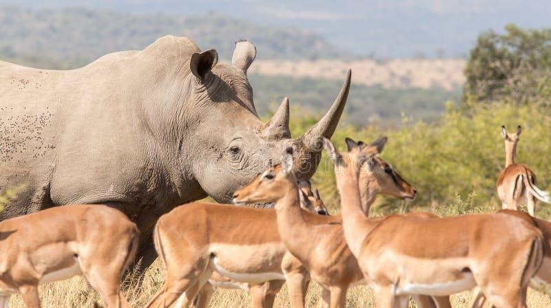 Afrykańska nosorożec świadka ochrona obrazy royalty free