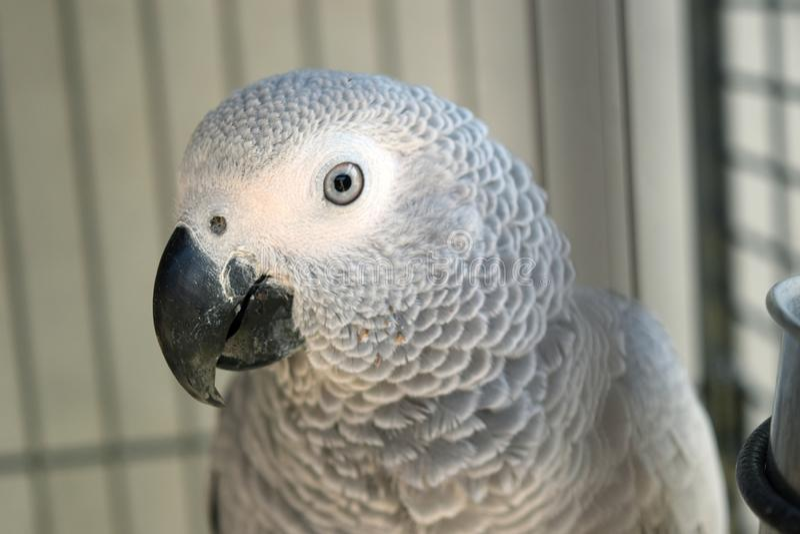 Afrykańska popielata Kongo papuga obrazy royalty free