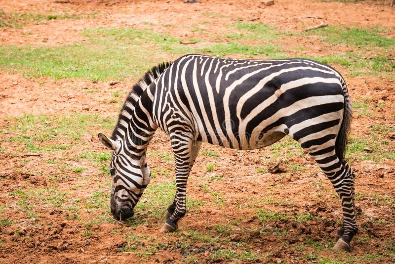 Afrykańska równiny zebra je zielonej trawy obraz royalty free