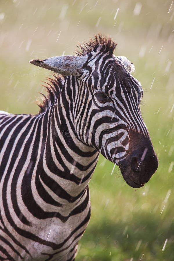 Afrykańska równiny zebra wyszukuje i pasa na suchych brown sawanna obszarach trawiastych fotografia royalty free