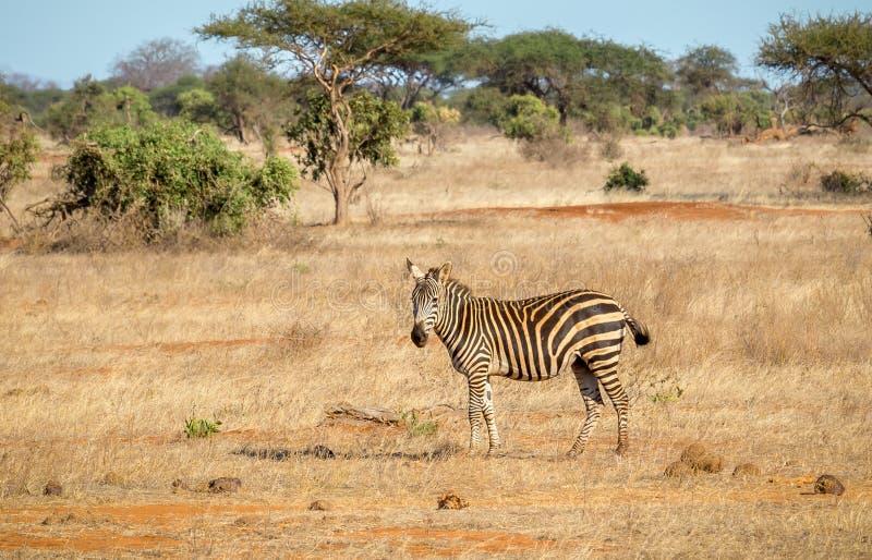 Afrykańska zebra w Kenja zdjęcie royalty free