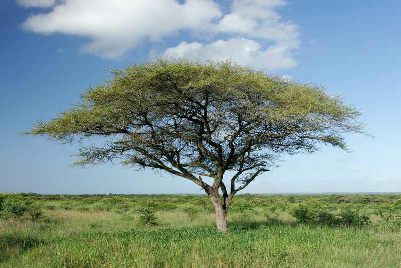 afrykański akacjowy drzewo. obrazy stock