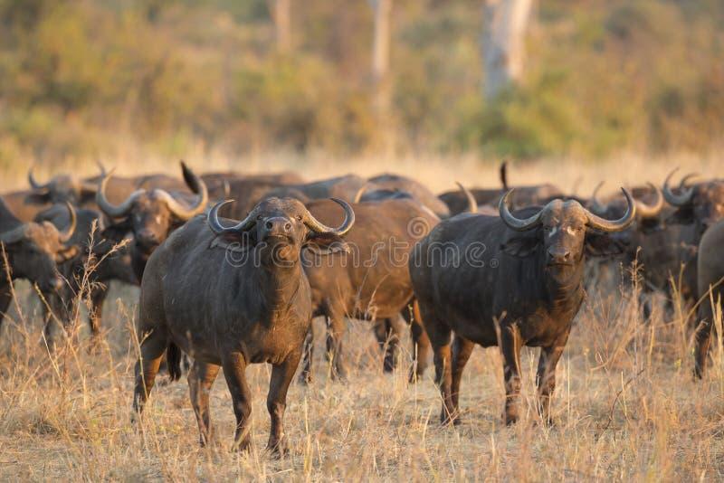 Afrykański Bawoli byk z stadem zdjęcia stock