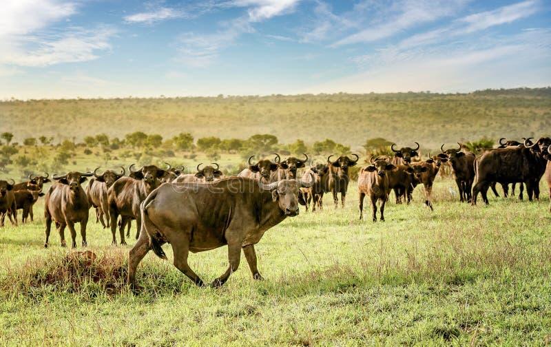 Afrykański bizon w Murchison spada park narodowy, Uganda obraz royalty free