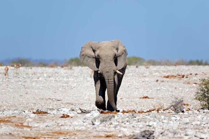 Afrykański byka słoń - Etosha park narodowy zdjęcia royalty free