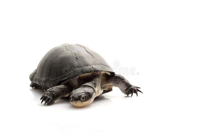 afrykański czarny wschodni borowinowy żółw fotografia royalty free