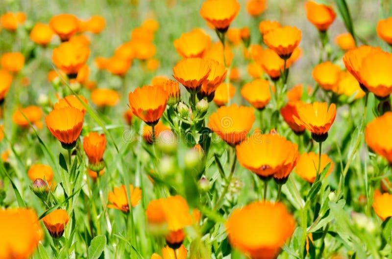 afrykański daisy zdjęcie stock