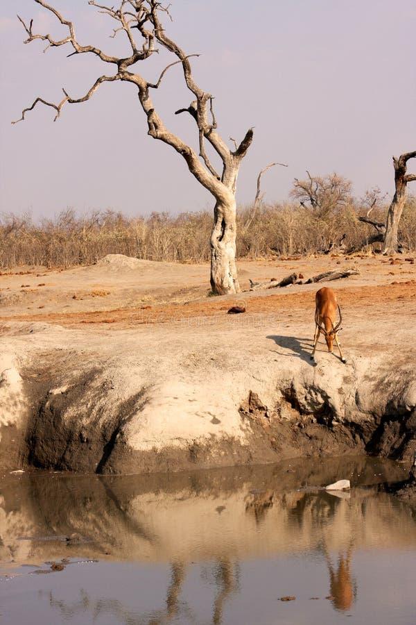 afrykański dziurę impala wody fotografia royalty free