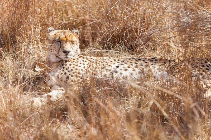 Afrykański geparda lying on the beach w długiej trawie obrazy stock