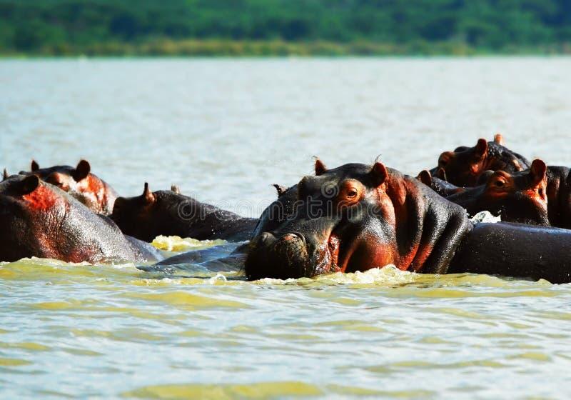 afrykański hipopotam zdjęcia royalty free