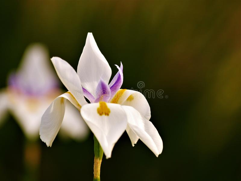 Afrykański Irysowy kwiat obraz stock
