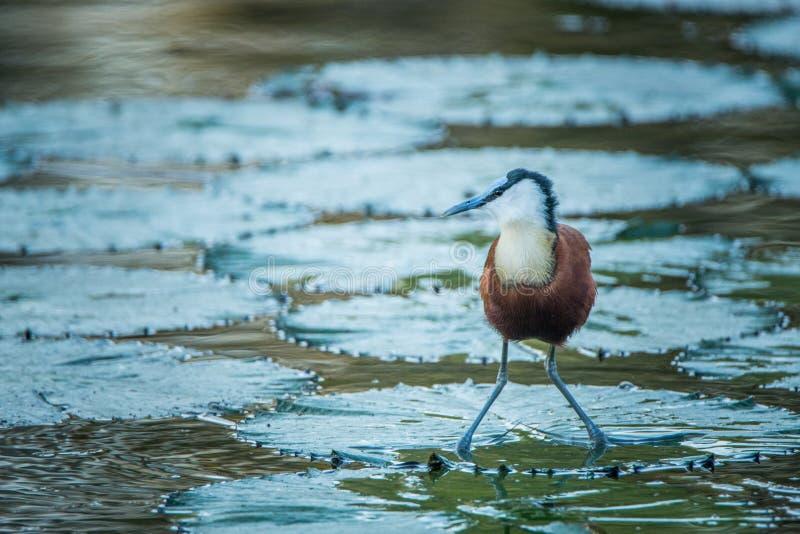 Afrykański jacana w wodzie w Kruger obrazy stock