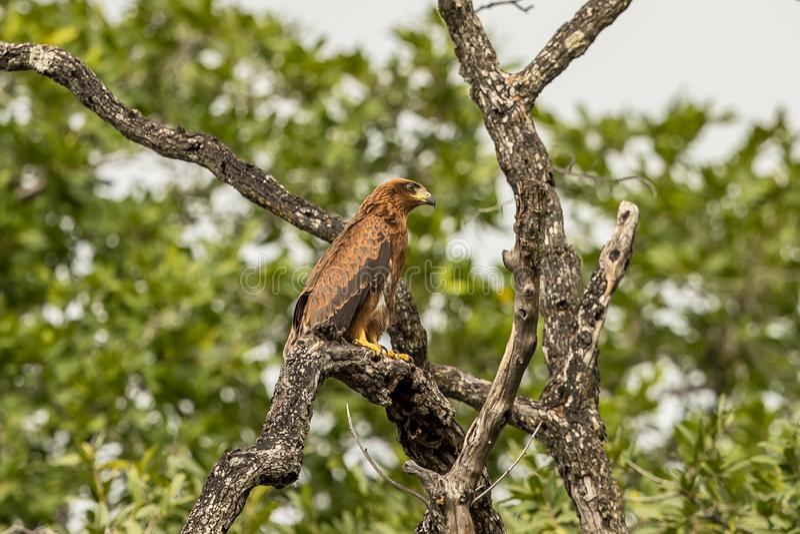 Afrykański jastrząb Eagle Botswana obraz royalty free