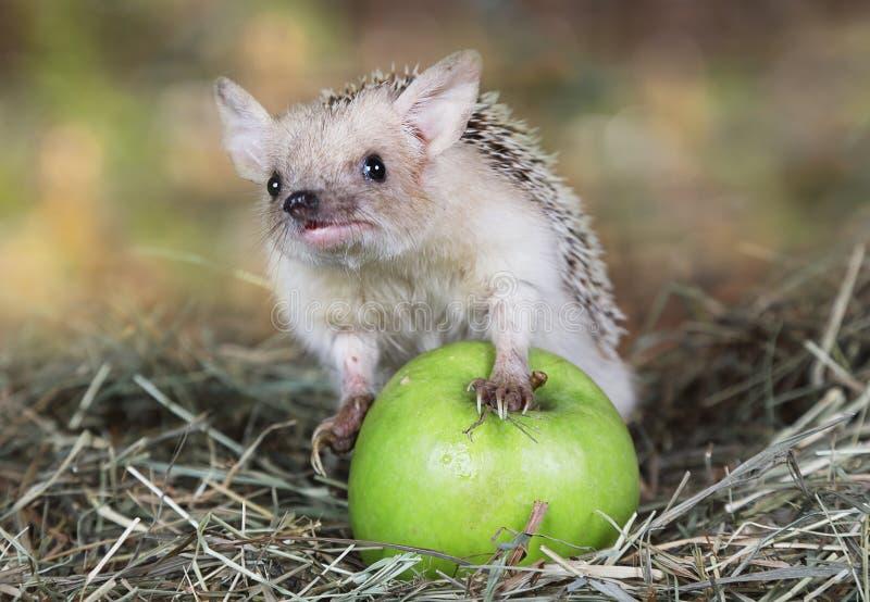 Afrykański jeż z jabłkiem zdjęcie stock