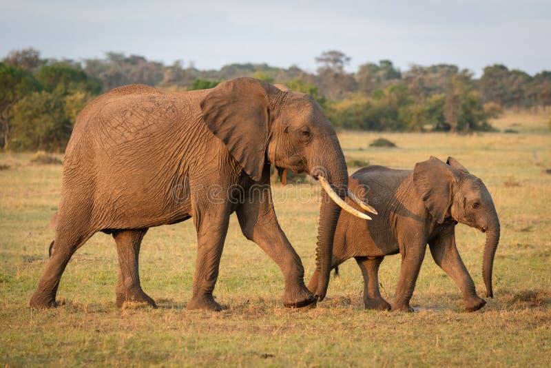 Afrykański krzak łydki i słonia przecinający obszar trawiasty fotografia stock